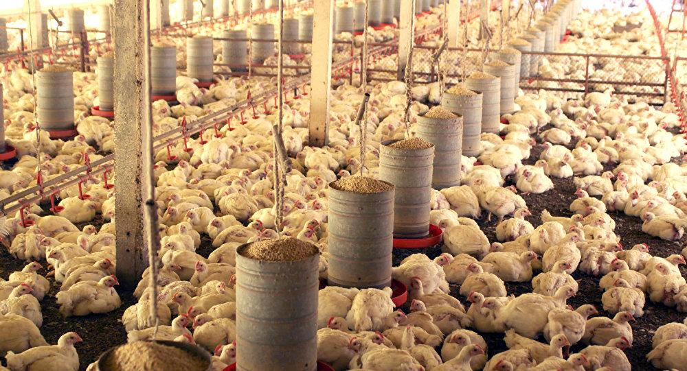 Vai sair pena para todo lado: Brasil ameaça recorrer à OMC contra veto europeu ao frango