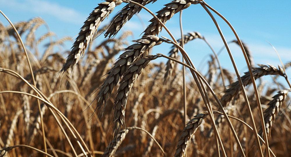 Brasil abre mercado para trigo russo, pondo fim à 'luta' requisitória de 9 anos